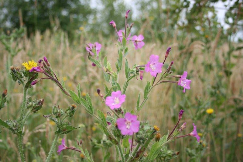 Hairy  Willow Herb